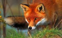 Fox's Photo