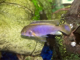 Wanted: Any African Cichlids For Display Tank - Unwanted Fish Ok - For A Good Home - last post by Chopstick_mike