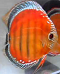 Fs - Baby Discus Fish Available - last post by Johan