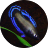 Fs: Betta Albimarginata - last post by Albert