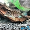 Geophagus Id - last post by noaddedsalt
