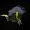 Sold !!! F.s: Fossorochromis Rostratus Females X5, 1X Electric Blue -Display Male - last post by Maaxim