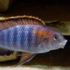Fish Of The Month - Pseudotropheus Crabro - last post by Stormfyre