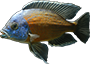Identification Keys For Cichlids, Catfish Etc - last post by Cawdor